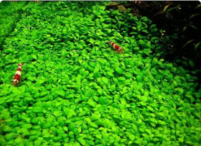 5 Tanaman Karpet Aquascape Terbaik Tanpa CO2