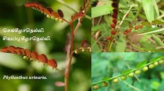 Phyllanthus urinaria flower fruits.