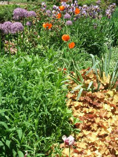 Paul Kane House perennial bed showing summer phlox, oriental poppy, caramel heuchera, german iris by garden muses: a Toronto gardening blog