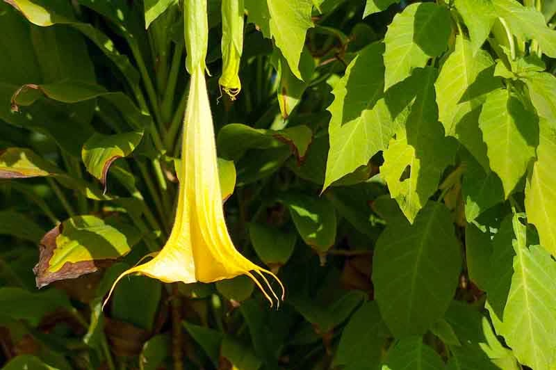 Flower, Angel's Trumpet