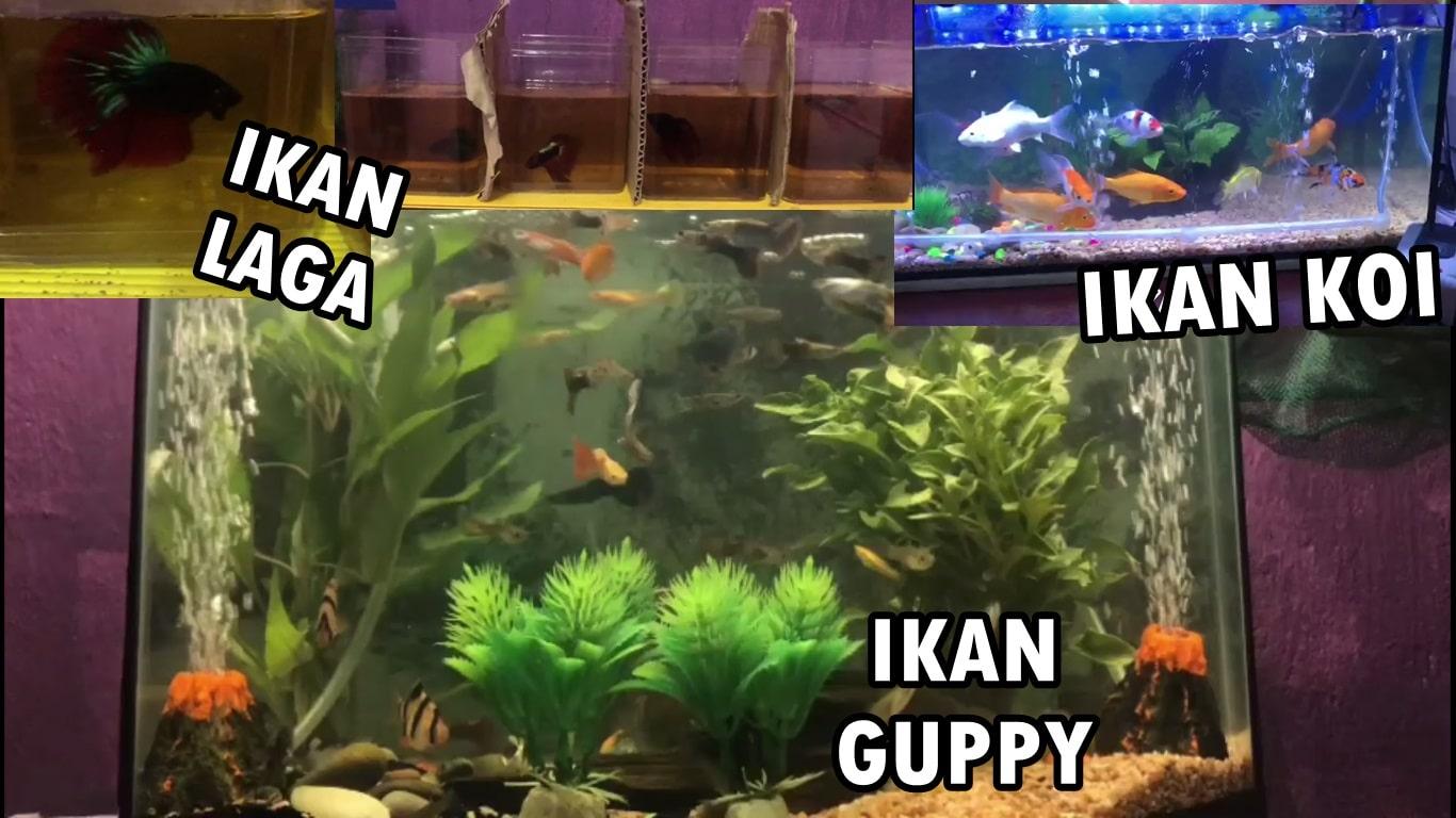 harga akuarium ikan laga guppy ikan hiasan