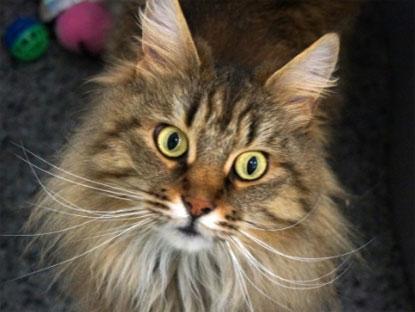 Sponsor cat Chamomile