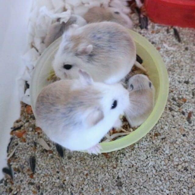 Hamster Roborovski | Harga, ciri, Makanan, dan Cara Merawatnya