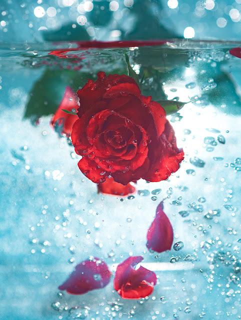 اجمل الورود الحمراء خلفيات للموبايل