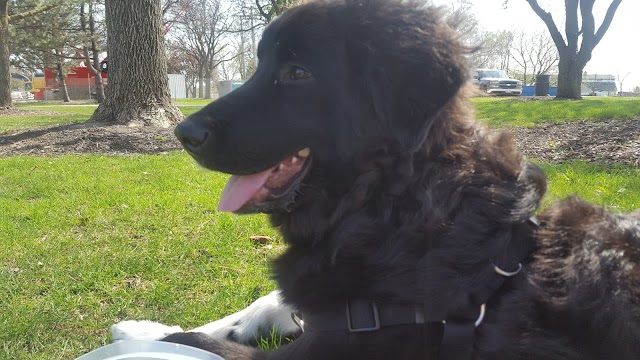 Newfoundland Poodle Mix Temperament, Size, Lifespan, Adoption, Price