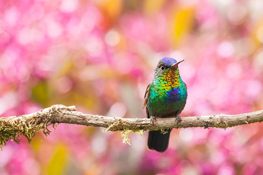 Fiery-Throated Hummingbird-1