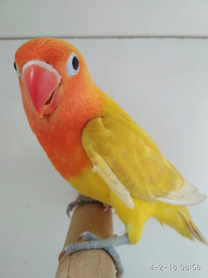 400+ Foto Gambar Burung Lovebird Pastel Ijo  Terbaru Gratis