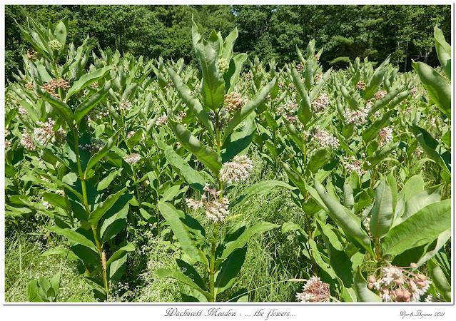 Wachusett Meadow: ... the flowers...