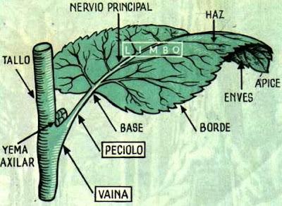 Ilustración de una hoja indicando sus partes