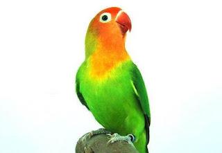 Burung Lovebird - Vitamin Bridvid yang Menunjang Kesehatan dan Kelancaran Penangkaran Burung Lovebird - Penangkaran Burung Lovebird