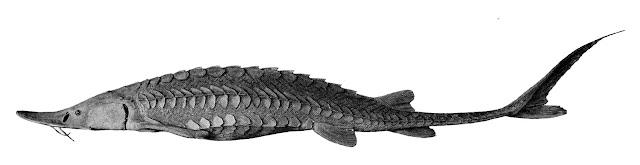ikan sturgeon