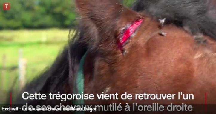 VIDÉO : Un nouveau cheval mutilé dans le Trégor