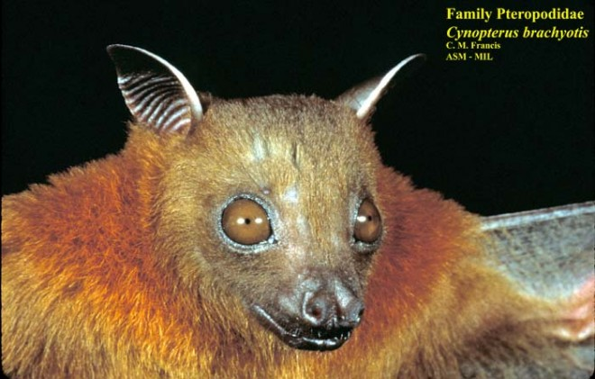 Bats are not bugs: Do bats have eyes?