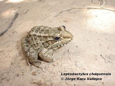Rana chaqueña Leptodactylus chaquensis