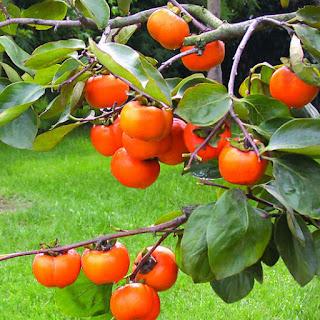 pohon buah kesemek