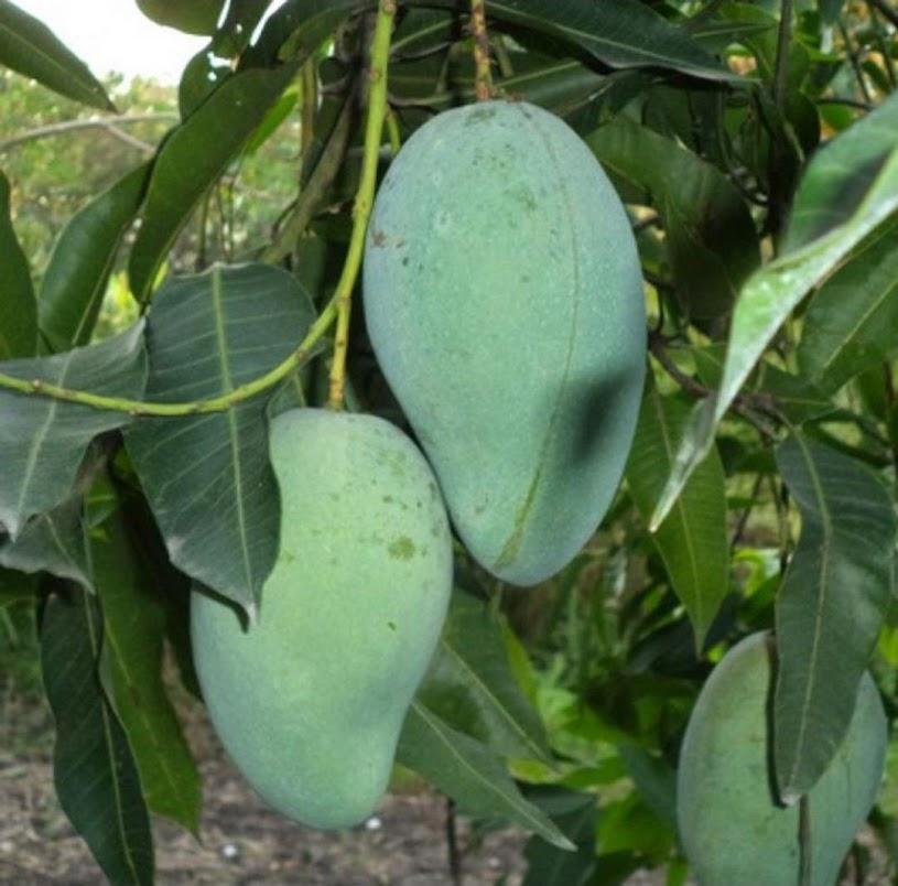 bibit mangga gadung benih pohon tanaman buah okulasi cangkok sambung bisa untuk tabulampot taman Jakarta