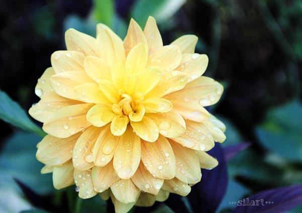 Septemberblüten, gelbe Dahlie