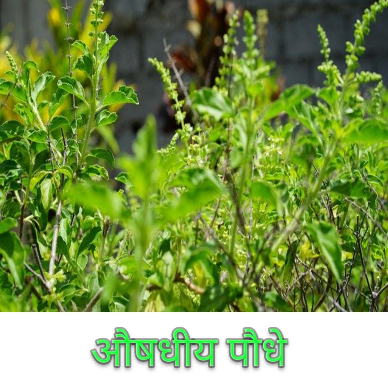 औषधीय पौधों का प्रारंभिक परिचय एवं महत्व Early introduction and importance of medicinal plants