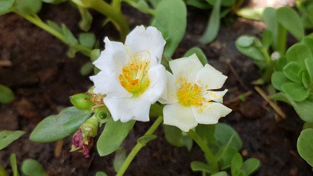 ดอกสีขาวคุณนายตื่นสาย