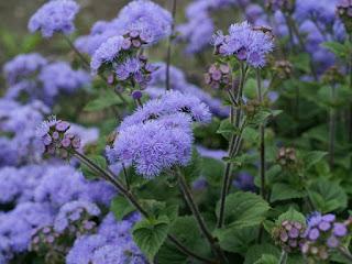 Ageratum houstonianum 'Leilani Blue'