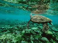 Sea turtles,Philippines,sea,underwater