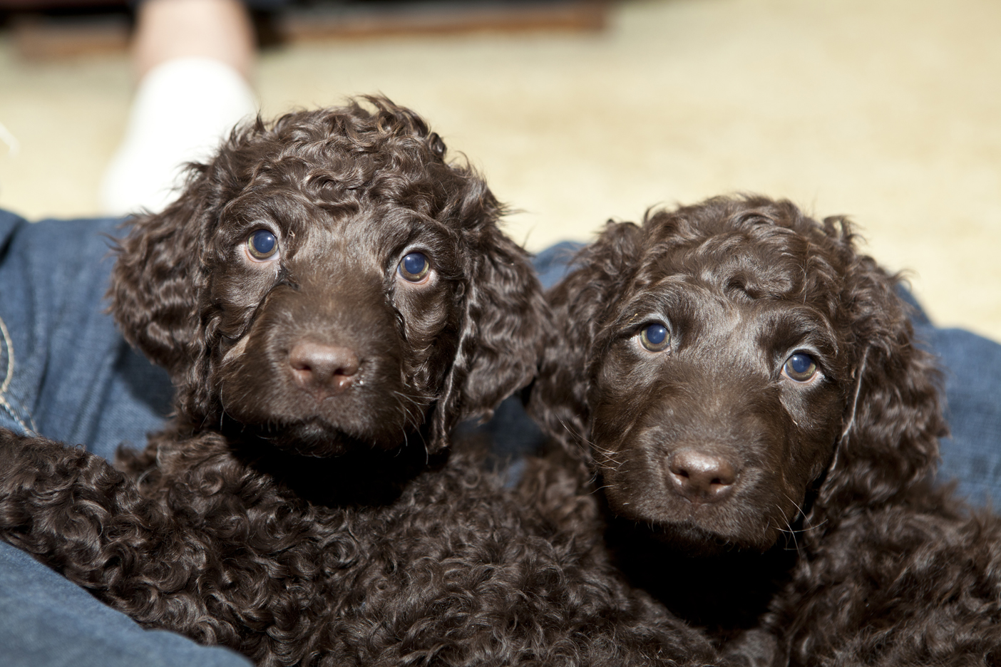 I LOVE DOGS: Fluffy Dogs That Don't Shed : Hypoallergenic ...