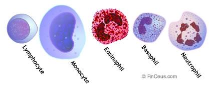 Susunan Sel Darah Putih