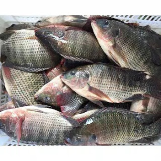 Harga Supplier Jual Ikan Nila Bibit dan Konsumsi Semarang, Jawa Tengah