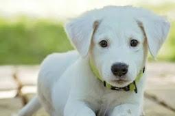 +135 Jenis Anjing Yang Terkenal, Populer di Dunia, Penjelasan dan Gambarnya [Lengkap]