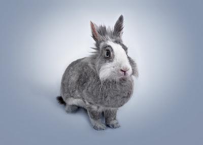 Kelinci berkembang biak dengan cara