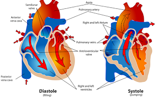 Fungsi Serambi Kanan Pada Jantung Manusia Dan Penjelasannya