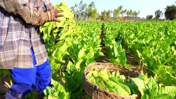 Σε εξέλιξη η συγκομιδή καπνού στην Ελασσόνα αλλά πουθενά οι εργάτες γης!