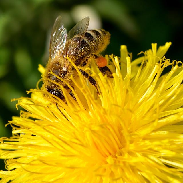 Abeille à miel sur fleur de pissenlit