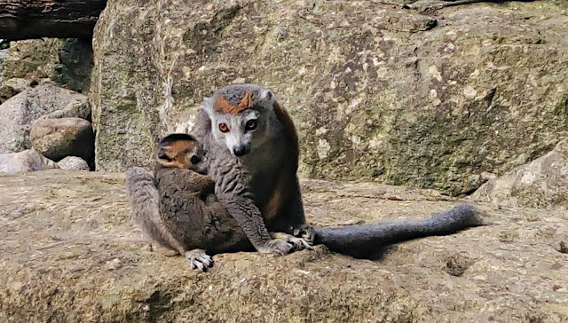 A lemur sitting on a rock with her baby clinging to her.