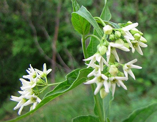 Szarotka alpejska (Leontopodium alpinum).