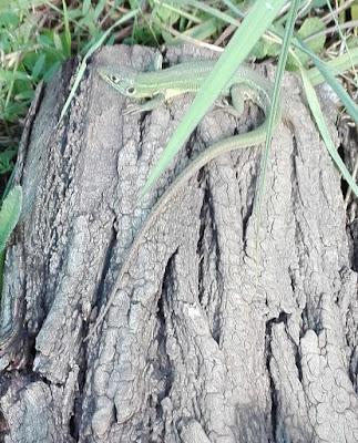 Lagarto verde (Lacerta bilineata)
