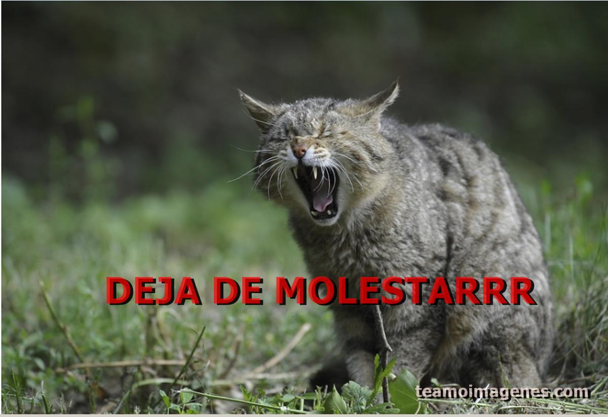 La mejor imagen de gatitos diciendo frases molestas, teamoimagenes.com