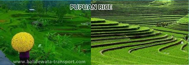 pupuan rice