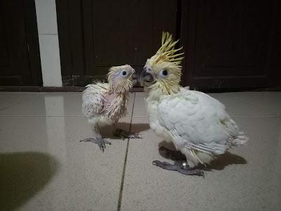 anakan burung kakatua resmi