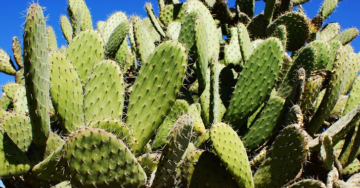 Mexican Scientist Found A Way To Turn Nopal Cactus Into Biodegradable Plastic
