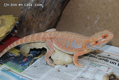 Pogona vitticeps red