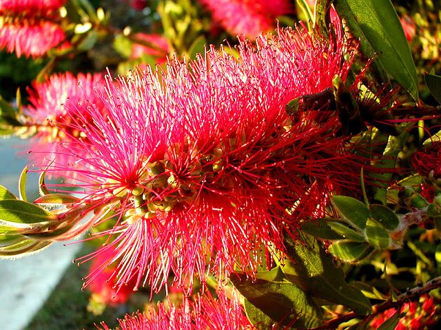 Bottlebrush Callistemon (Melaleuca) sp. Adaminaby, Australia. Photo by Susan Walter.