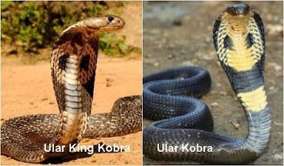Perbedaan Ular Kobra dan King Kobra