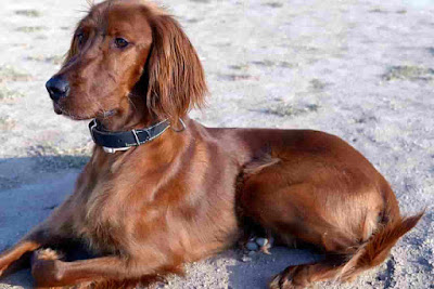 Irish dog breeds, Irish dogs