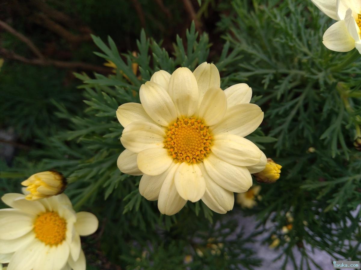 キバナマーガレットの花