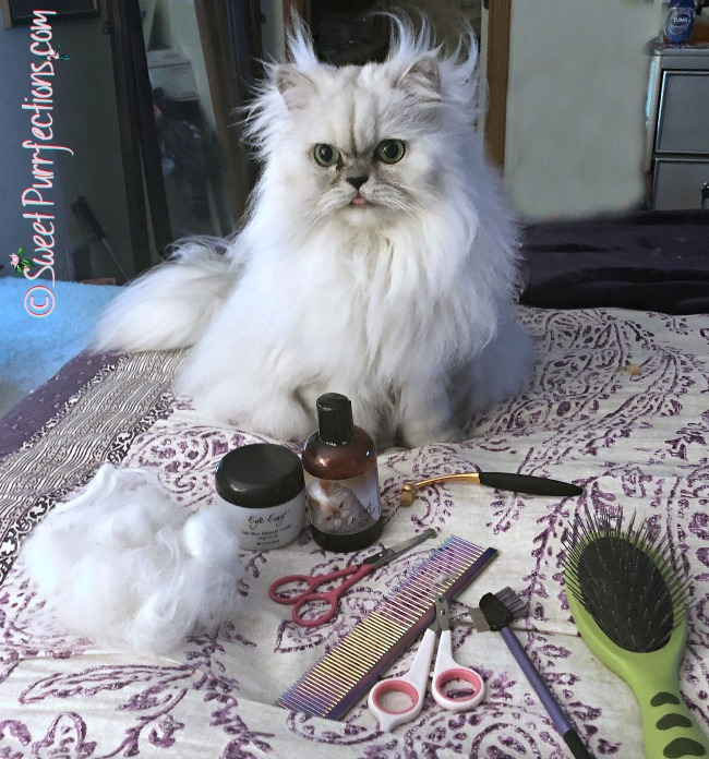 silver shaded Persian Cat with grooming tools