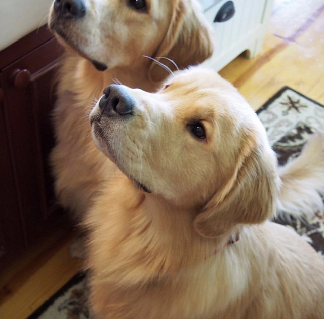 Golden Retrievers Kitchen