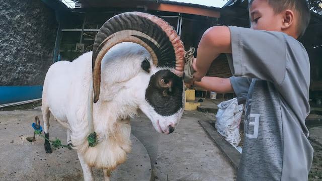 Foto Gambar Domba Garut Jantan