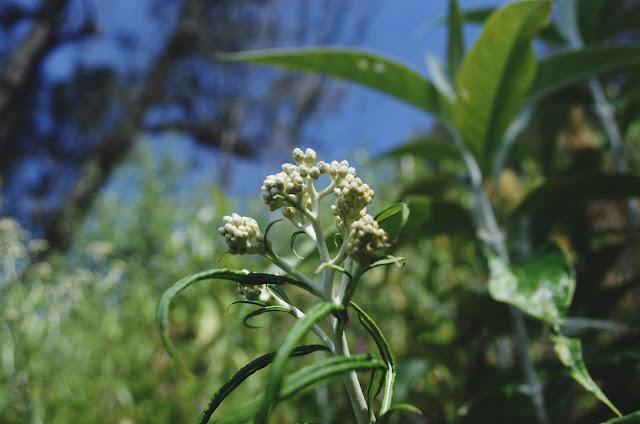 Bunga edelweiss gunung Semeru