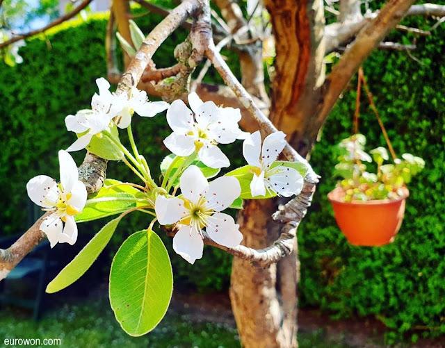 Flores de peral en primavera